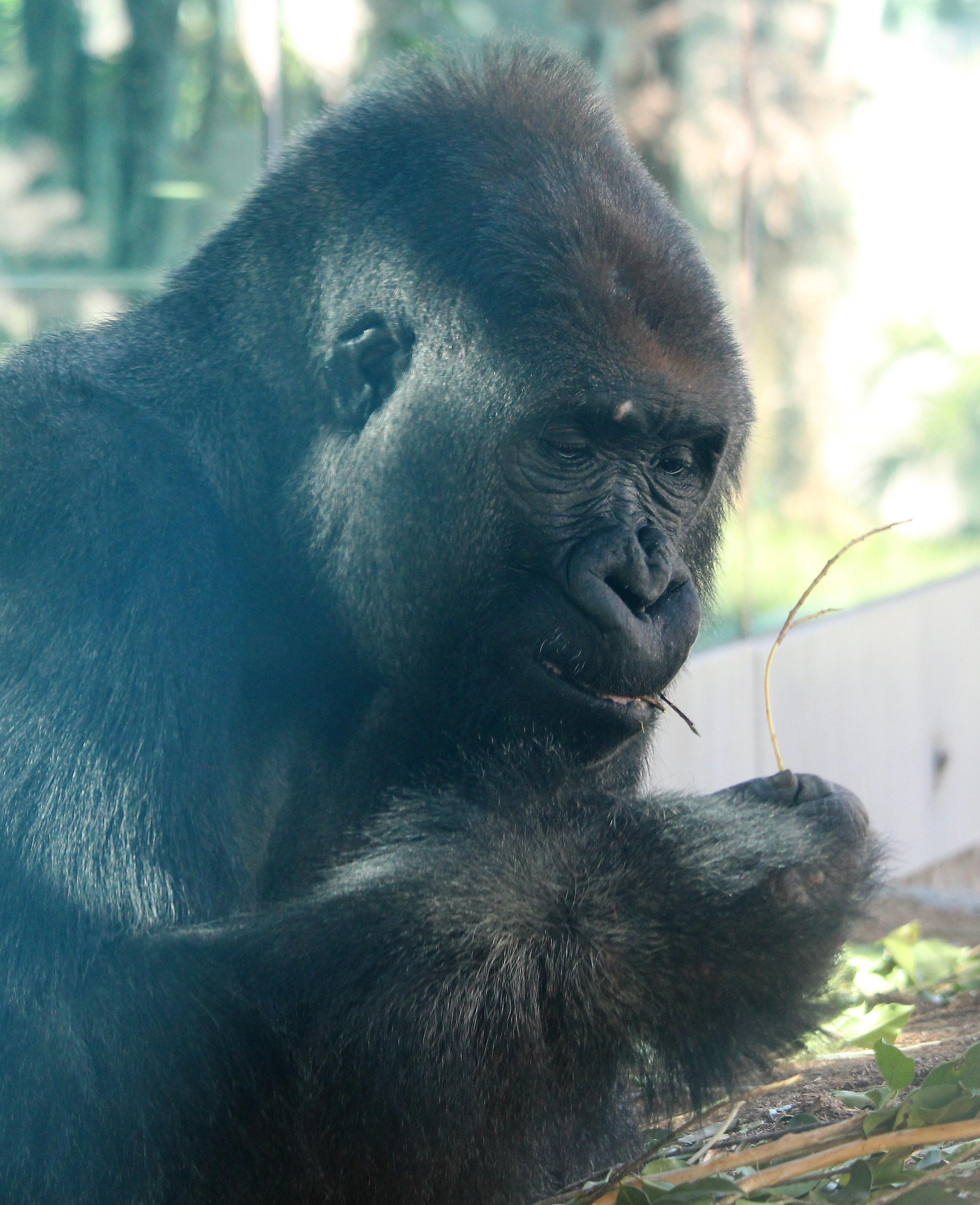 sdzoo.gorilla.4