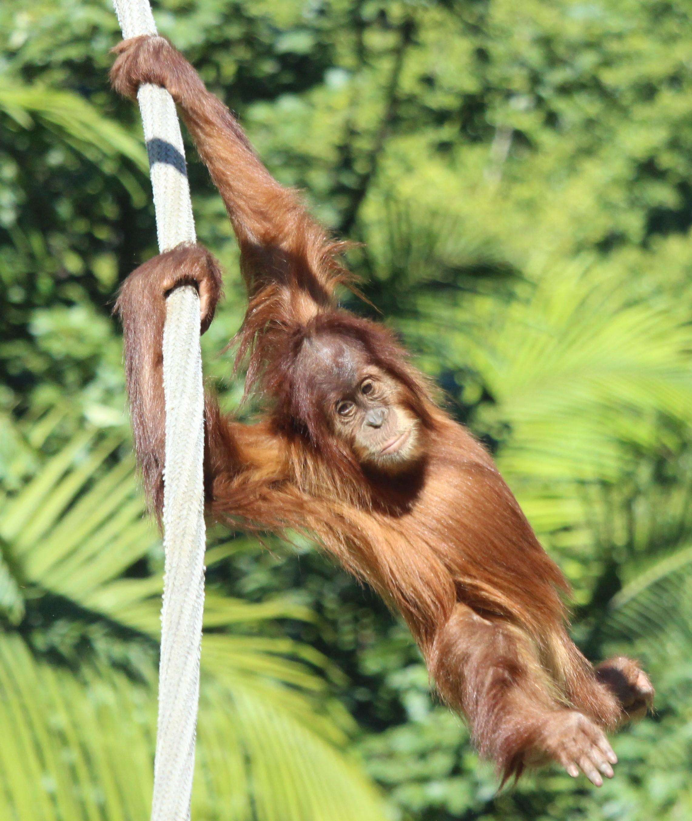 sdzoo.orangutan.6