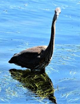 Great Blue Heron - Photo by SJF Communications