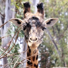 Giraffe; Photo by SJF Communications
