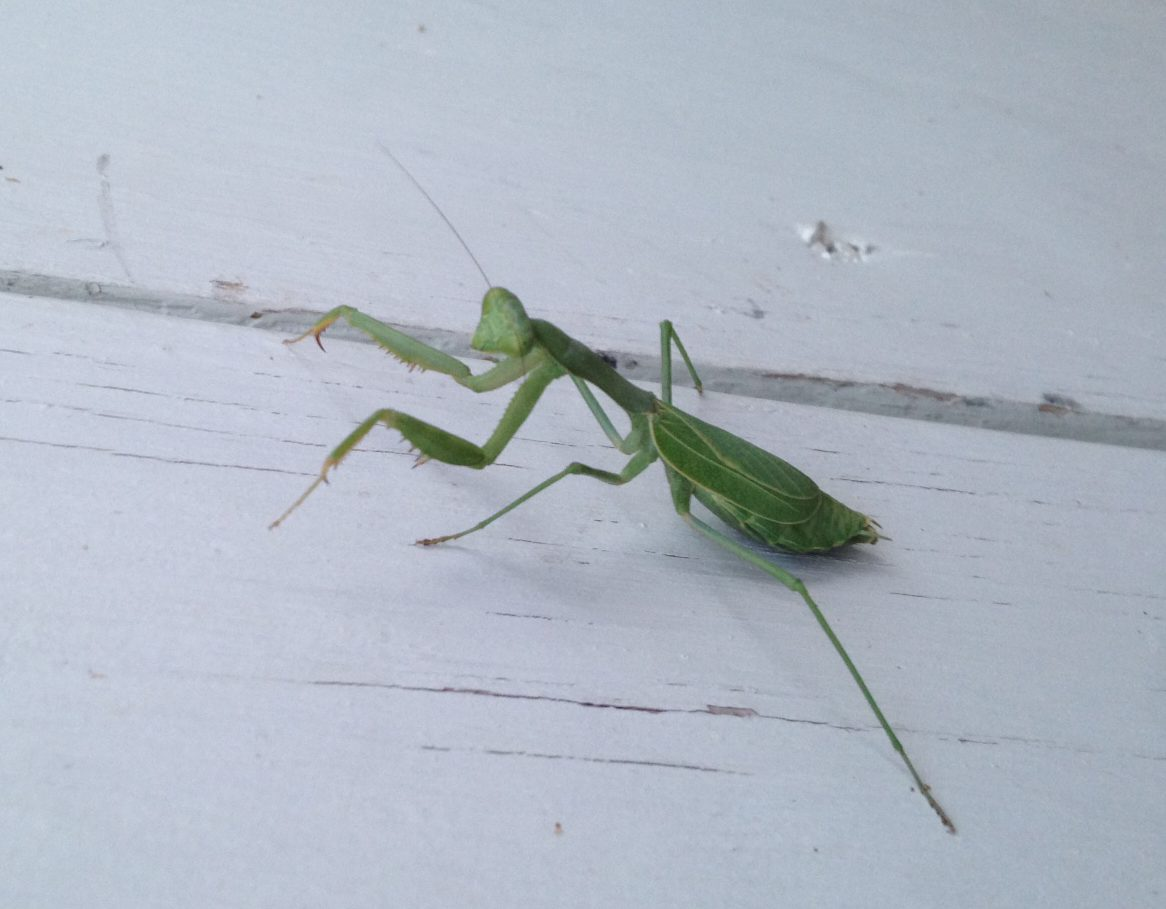 Our 'Spiritual' Insect Friend, the Praying Mantis - SJMA