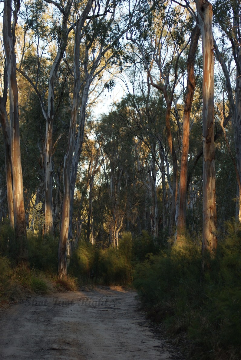 track through the bush by the Murray River .