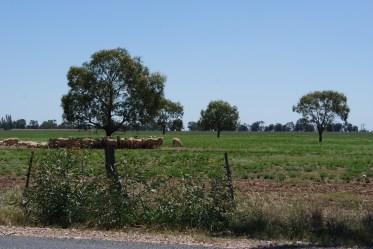 Sheep on the way to Mitiamo
