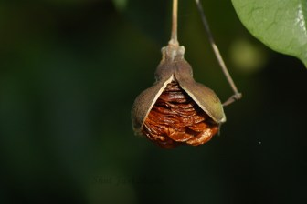 Seeds of native Frangipani