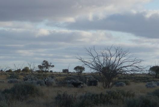 Wild Goats near Broken Hill