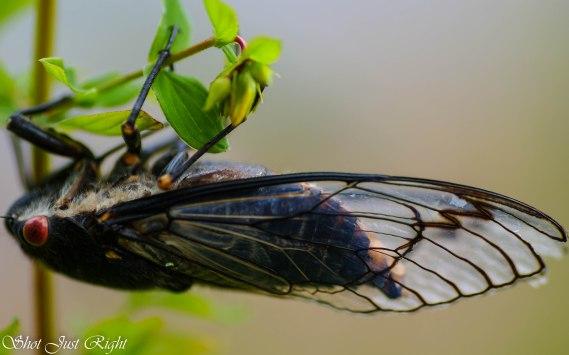 Cicada - just hanging around