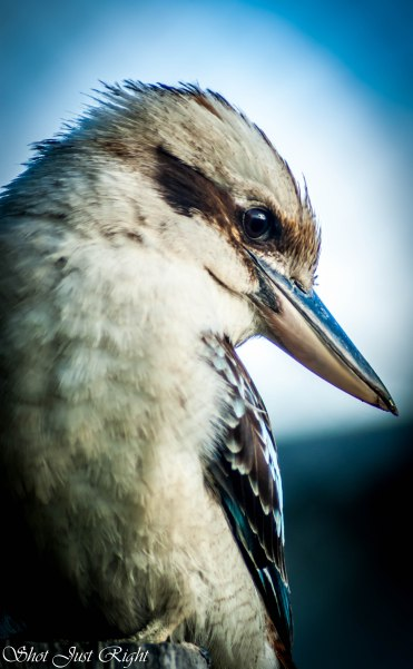Laughing Kookaburra after worms on the Tennis court