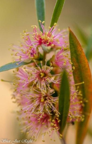 Callistemon - same plant different aged flowers