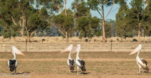 Pelicans in the middle of a Paddock