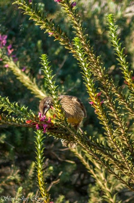 Red Wattle Bird