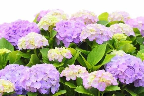 なばなの里あじさい花まつり2018の開花や見頃は?日程は?