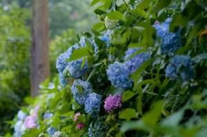 京都あじさい2017の開花や見頃と名所や穴場スポットは?