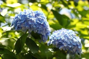 小田原城あじさい花菖蒲まつり2018の開花や日程、駐車場や見どころは?