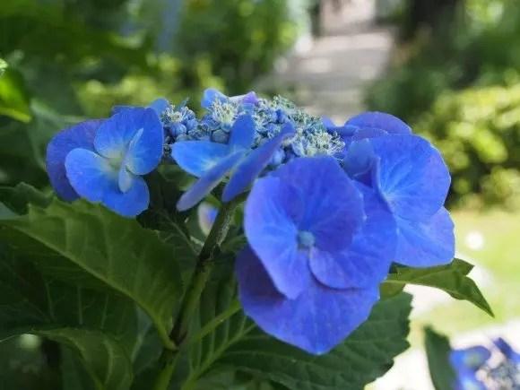 下田あじさい祭り2018の開花や日程と場所、見どころは?