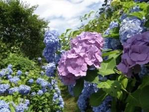 箱根あじさい2018の開花や見頃と名所は?電車や穴場スポットは?
