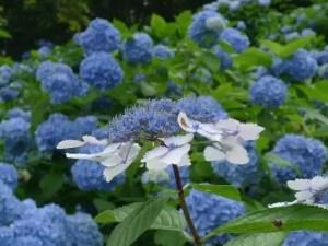 開成町あじさい祭り2017の開花や日程、駐車場や見どころは?