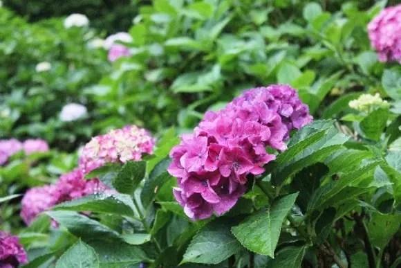 三室戸寺あじさい2018の開花や見頃!ライトアップやハートのあじさいは?