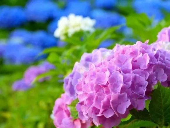 あじさいの種類や花言葉2016年の見頃とあじさい祭り