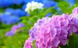 あじさいの種類や花言葉2018年の見頃とあじさい祭り