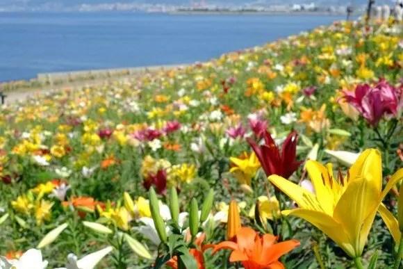 大阪舞洲ゆり園2018の開花状況や日程は?駐車場やアクセスは?