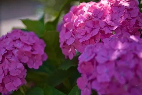 舞鶴自然文化園あじさい2018の開花や見頃は?観光スポットは?