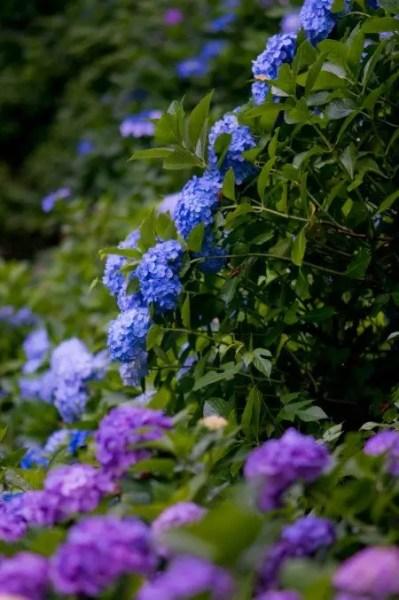 神戸市立森林植物園あじさい2018の開花や見頃とアクセス方法は?