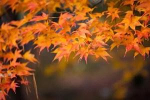 北野天満宮の紅葉2016見ごろ時期とライトアップは?