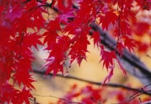 宝厳院の紅葉2016の見ごろ時期やライトアップは?
