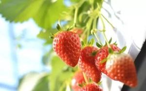 愛知イチゴ狩りおすすめ人気スポット2018!美味しい時期は?