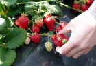 静岡イチゴ狩りおすすめ人気スポット2018!美味しい時期は?