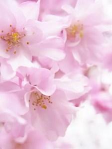 赤城南面千本桜2017開花状況と見頃時期!