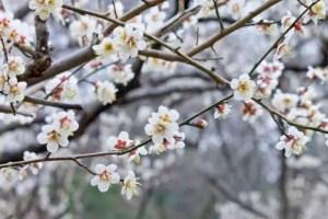 賀名生梅林の梅の見頃や開花状況2017と駐車場は?