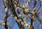 青谷梅林の梅まつり2018の見頃の時期や開花状況は?