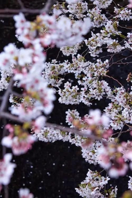 千葉の夜桜ライトアップの名所や穴場スポット10選!