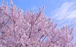 福岡の桜(花見)名所や穴場おすすめ10選と開花情報2018!