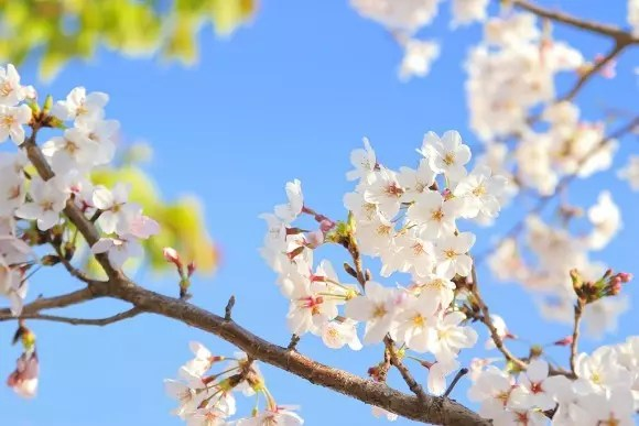 臥竜公園の桜(桜祭り)2017の開花と見頃やライトアップ!