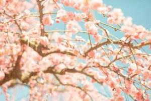 羽根木公園せたがや梅まつり2018の見頃の時期や開花状況は?