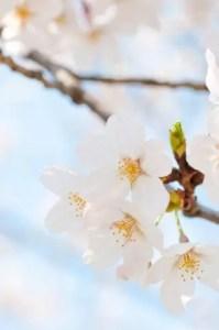 彦根城桜まつり2017桜の開花情報とライトアップ!