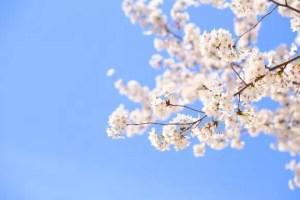 姫路城の桜・お花見2017の開花情報や見頃時期!