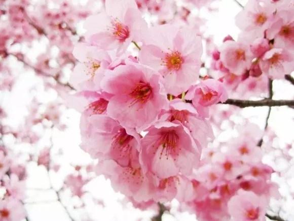 弘前公園の桜2019の開花情報や桜まつりとライトアップ!