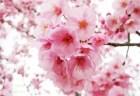 大阪造幣局の桜の通り抜け2018の見頃や開花状況!