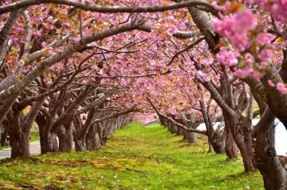 北海道の桜・花見の名所や穴場おすすめ10選と開花情報2017!