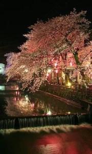 hyogoyozakura3
