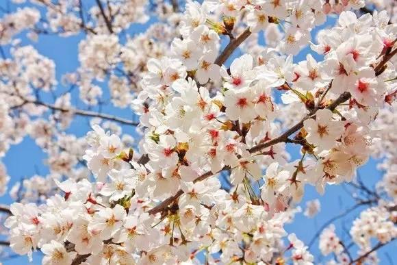 角館桜まつり2017桜の開花予想と見頃や駐車場情報!