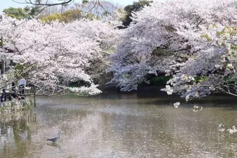 鎌倉の桜2016の開花時期と花見の名所や穴場おすすめ10選!