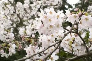 松川公園(富山)2017の桜の開花状況と見頃時期!