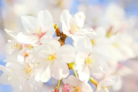 松前公園の桜(桜まつり)2019の開花状況と見頃時期!