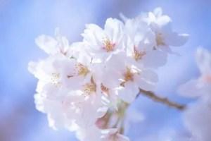 仁和寺の御室桜2018の見頃や開花情報!