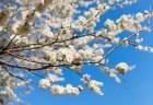 越生梅林の梅まつり2018梅の見頃や開花状況は?