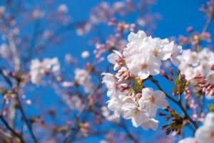 岡崎公園の桜(桜祭り)2017の開花状況と見頃時期!